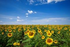 Gebied van Sunflowers Royalty-vrije Stock Foto's