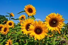 Gebied van Sunflowers Stock Afbeelding