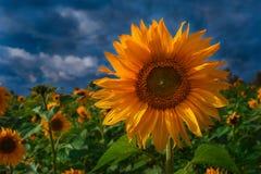 Gebied van Sunflowers Royalty-vrije Stock Fotografie