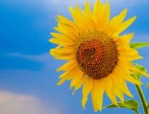 Gebied van Sunflowers vector illustratie