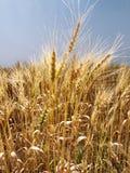 Gebied van tarwe. stock fotografie