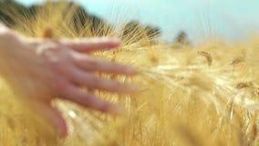 Gebied van tarwe stock footage