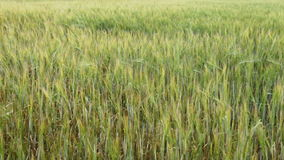 Gebied van tarwe stock video