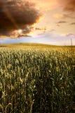 Gebied van tarwe bij zonsondergang Royalty-vrije Stock Afbeelding