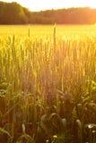 Gebied van tarwe in de avond zon Stock Foto's
