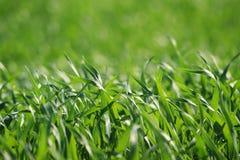 Gebied van tarwe in de Lenteclose-up Stock Afbeelding