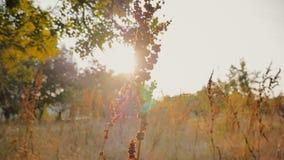 Gebied van tarwe in de mooie recente avondzonneschijn stock videobeelden