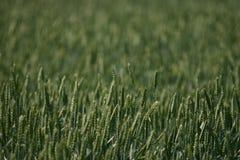 Gebied van tarwe dichte omhooggaande achtergrond Royalty-vrije Stock Afbeeldingen