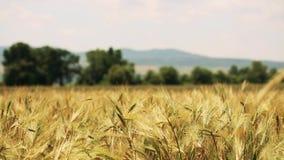 Gebied van tarwe door de wind met bos en bergen op de achtergrond wordt geblazen die stock video