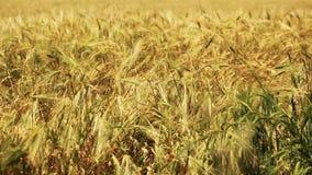 Gebied van tarwe door de wind wordt het geblazen die bekijkt dicht omhoog stock videobeelden
