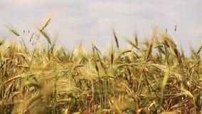 Gebied van tarwe door de wind wordt het geblazen die ziet dicht omhoog eruit stock video