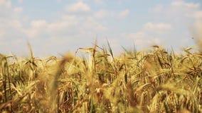 Gebied van tarwe door de zachte wind met hemel op achtergrond wordt geblazen die stock videobeelden