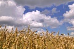 Gebied van tarwe en bewolkte hemel royalty-vrije stock afbeeldingen