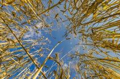 Gebied van tarwe en blauwe hemel Royalty-vrije Stock Afbeeldingen