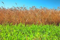 Gebied van tarwe en groen gras Royalty-vrije Stock Foto's