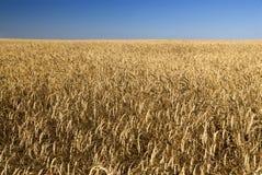 Gebied van tarwe en hemel Stock Afbeeldingen