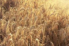 Gebied van tarwe klaar om worden geoogst Selectieve nadruk Stock Afbeelding