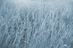 Gebied van tarwe klaar om worden geoogst Selectieve nadruk Het gebied van de zonsondergangtarwe in zwart-wit stock fotografie