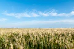Gebied van tarwe met blauwe hemel stock afbeelding