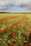 Gebied van tarwe met het bloeien maquis royalty-vrije stock afbeelding