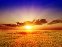 Gebied van tarwe op een achtergrondzonsondergang Royalty-vrije Stock Afbeeldingen