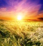 Gebied van tarwe op een achtergrondzonsopgang Royalty-vrije Stock Foto