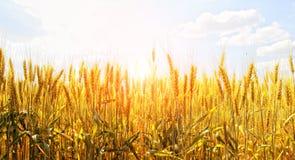 Gebied van tarwe op een achtergrondzonsopgang Royalty-vrije Stock Foto's