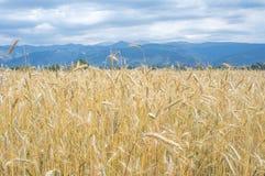 Gebied van tarweoren en de bergen van de Pyreneeën op de achtergrond Royalty-vrije Stock Foto's