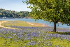 Gebied van Texas Hill Country Bluebonnets royalty-vrije stock foto