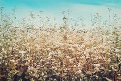 Gebied van tot bloei komend boekweit Rijpende Gestemde Oogst stock foto's