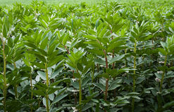 Gebied van tuinbonen stock afbeelding