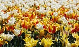 Gebied van Tulip Flowers Stock Afbeeldingen