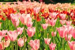 Gebied van tulpen Stock Afbeeldingen