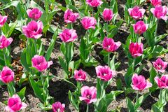 Gebied van tulpen Stock Afbeelding