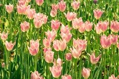 Gebied van tulpen Royalty-vrije Stock Foto's