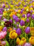 Gebied van tulpen Royalty-vrije Stock Afbeeldingen