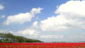 Gebied van Tulpen stock videobeelden
