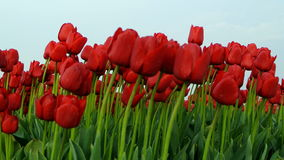 Gebied van Tulpen stock video
