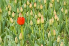 Gebied van tulpen Stock Foto