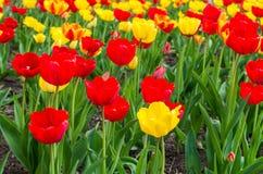 Gebied van tulpen stock fotografie