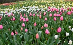 Gebied van tulpen Stock Foto's