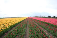 Gebied van tulpen Royalty-vrije Stock Fotografie