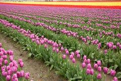 Gebied van tulpen bij La Conner, Washington stock afbeelding