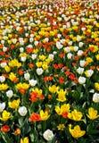 Gebied van tulpen in bloei Stock Foto