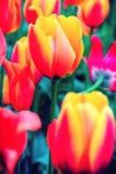 Gebied van tulpen in bloei onscherp Het bekijken Camera Royalty-vrije Stock Foto