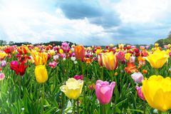 Gebied van Tulpen in de Lente onder blauwe Hemel royalty-vrije stock foto's