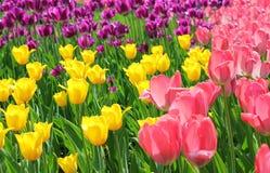 Gebied van tulpen in drie kleuren Stock Afbeeldingen