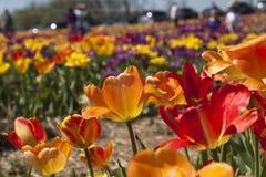 Gebied van tulpen in Haymarket, Virginia Royalty-vrije Stock Foto's
