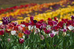 Gebied van tulpen in Haymarket, Virginia Royalty-vrije Stock Afbeelding