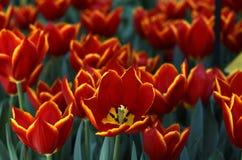 Gebied van Tulpen II royalty-vrije stock foto's